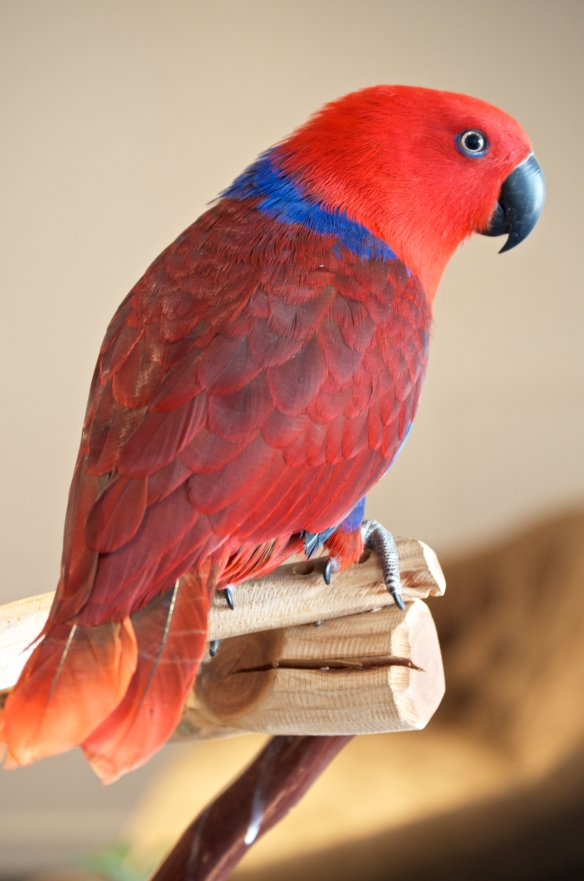 Miss Scarlett Nola.  Eclectus Parrot at the Hotel Modern New Orleans